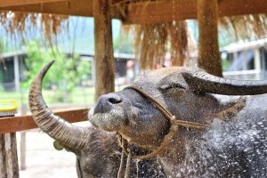 Kuang Si Waterval & Lao Buffalo Farm