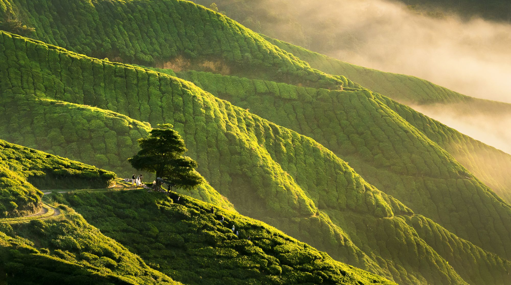 Maleisie Cameron Highlands thee plantages